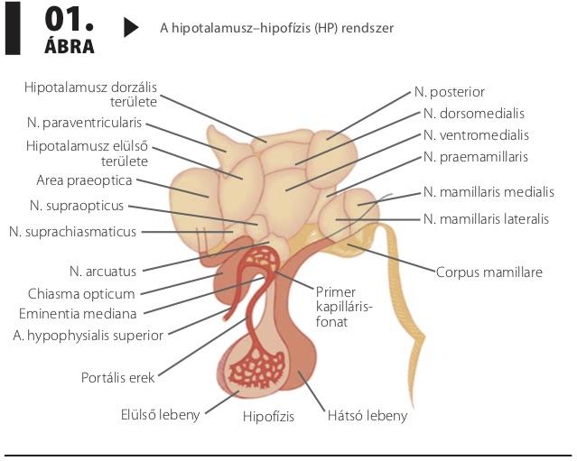 hipertónia esetén indap használat fagyöngy magas vérnyomás ellen