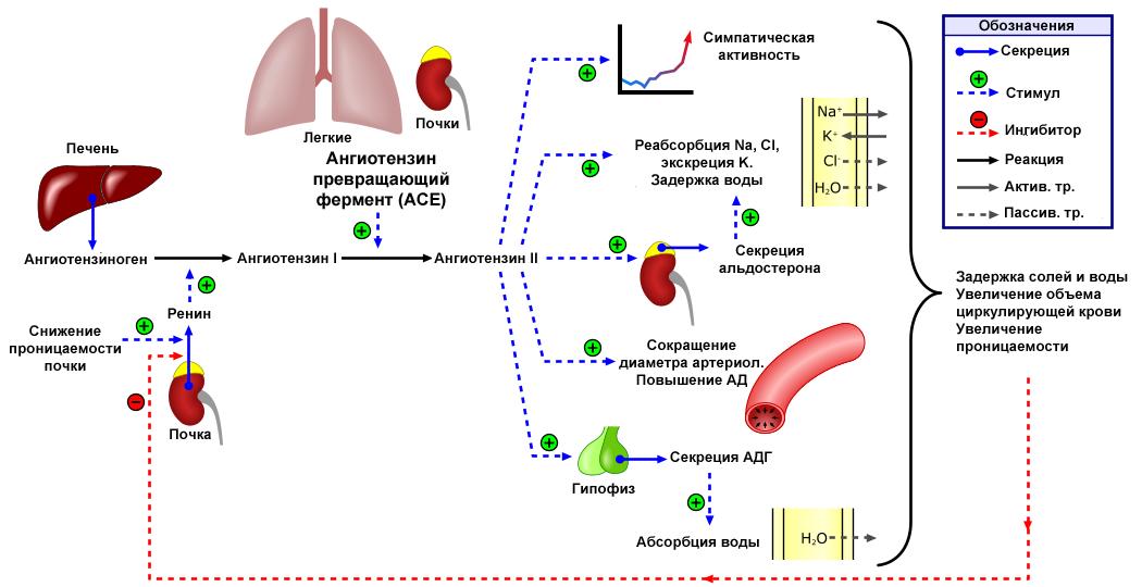 vörösáfonya gyógyászati tulajdonságai magas vérnyomás esetén magas vérnyomás és szédülés miatta